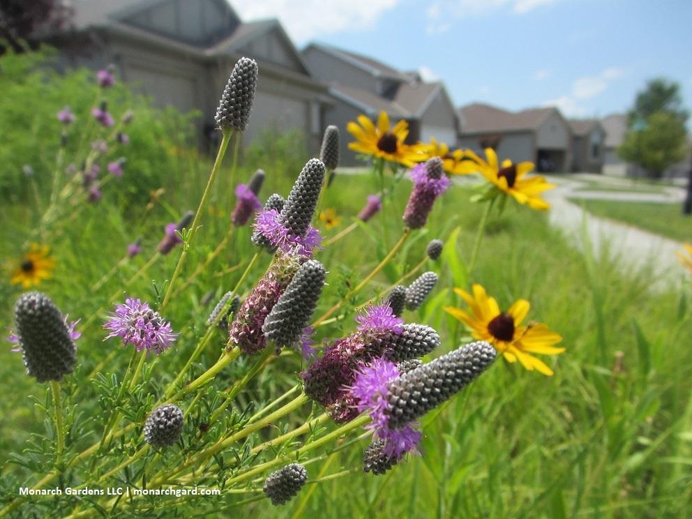 Low Maintenance Native Plants for Pollinators